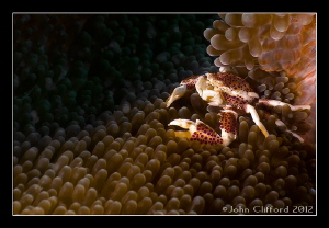 Spotted Porcelain Crab by John Clifford 